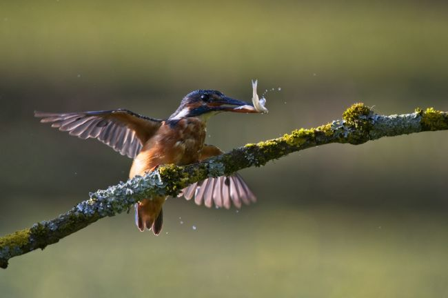 Simon Rigby | Kingfisher with dinner
