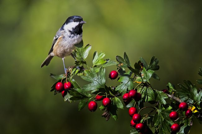 Simon Rigby | Marsh Tit on Hawthorn