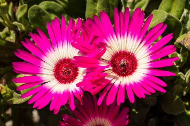 Richard Laidler | Deep Pink and White Livingstone Daisies