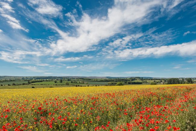 Richard Laidler | Poppies, Rape and a Big Sky