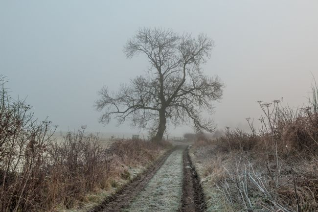 Richard Laidler | Solitary Winter Ash Tree on a Foggy and Frosty MOrning