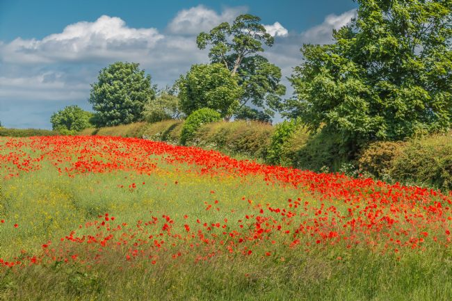 Richard Laidler | Field Poppies and Oilseed Rape
