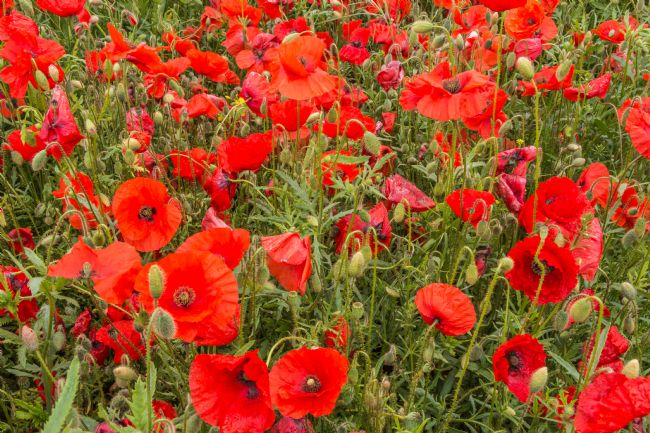 Richard Laidler | A Sea of Poppies