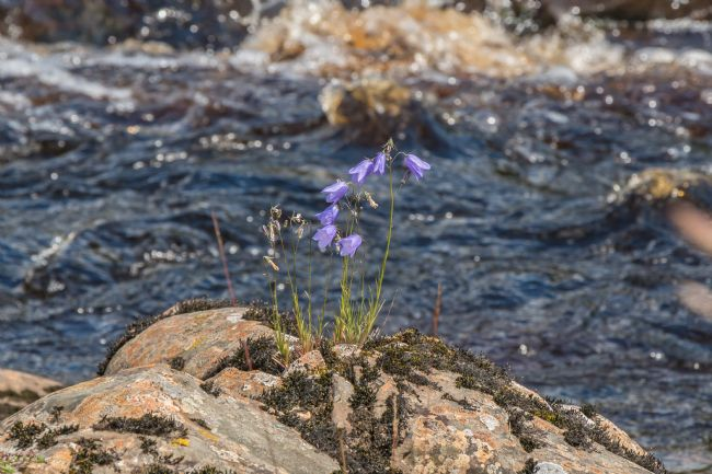 Richard Laidler | Harebells on the Tees Riverbank