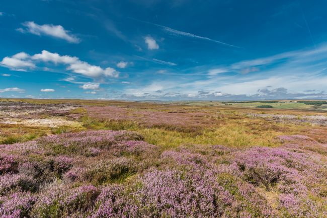 Richard Laidler | Heather in flower on Bowes Moor, Teesdale