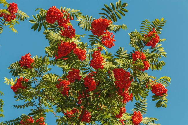 Richard Laidler | Bright Red Rowan Berries