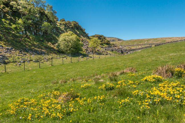 Richard Laidler | King Cup Meadow at Cronkley, Upper Teesdale