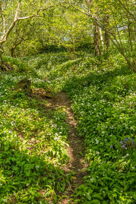Richard Laidler | Woodland and Wild Garlic in Spring