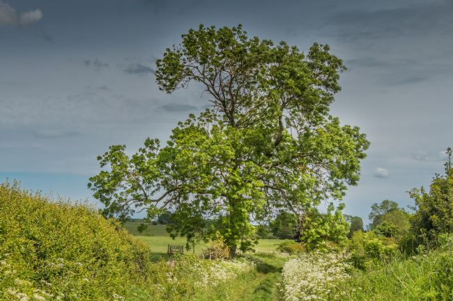 Richard Laidler | Summer Ash Tree