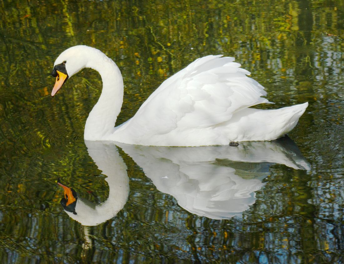 Andrew Heaps | Single swan gliding along lake giving great reflections
