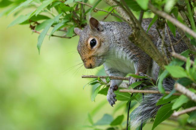 Simon Marlow | Grey Squirrel in a tree