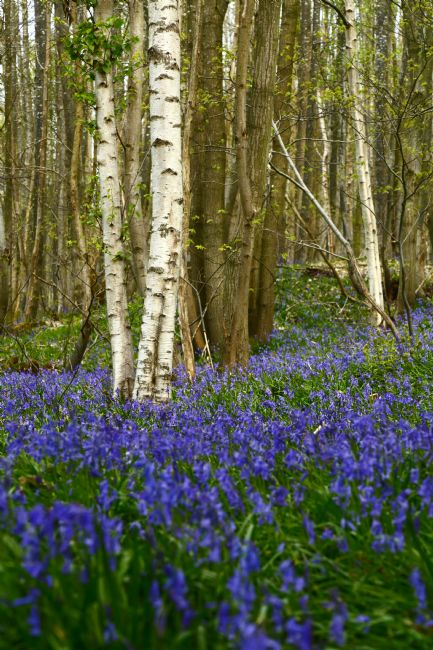 James Brunker | Flowering Bluebells and Silver Birch Trees