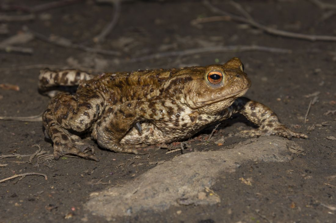 Steve Stamford | Common toad facing right