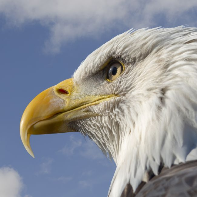Steve Stamford | Bald Eagle square