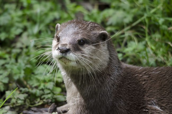Steve Stamford | Asian short clawed otter