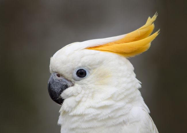 Steve Stamford | Sulfur crested cockatoo
