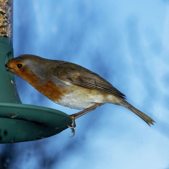 Steve Stamford | Robin on feeder