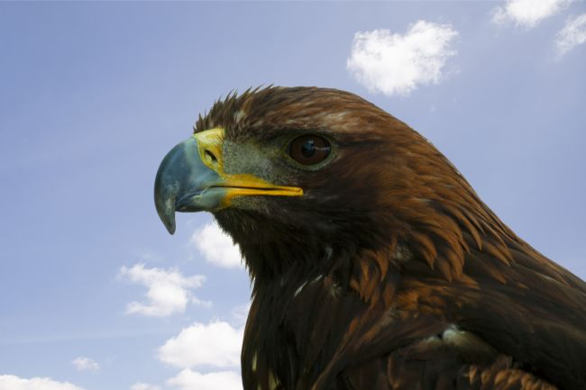 Steve Stamford | Golden eagle 2