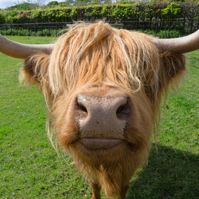 Steve Stamford | Highland cow nose