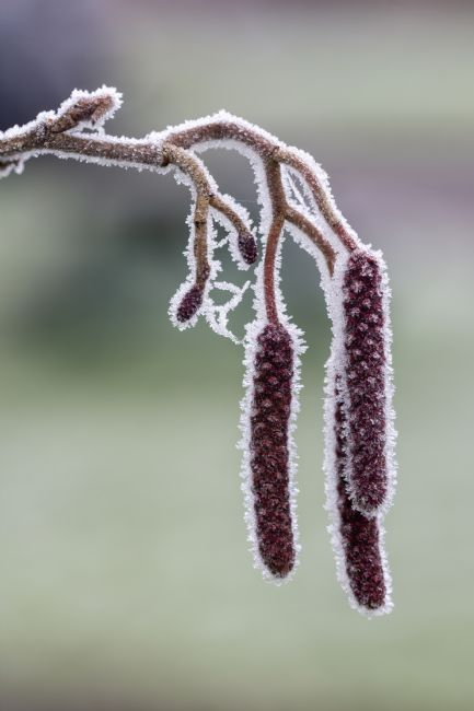 Steve Stamford | Three catkins in winter