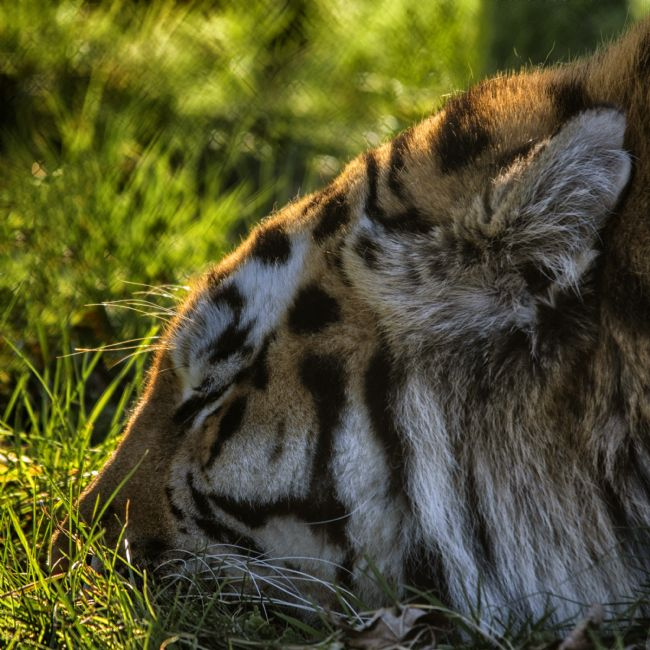 Steve Stamford | Sleeping Tiger
