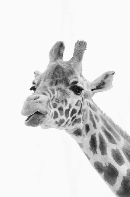 Steve Stamford | Giraffe chewing the cud mono