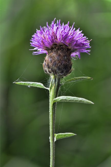 Steve Stamford | Common Knapweed 1
