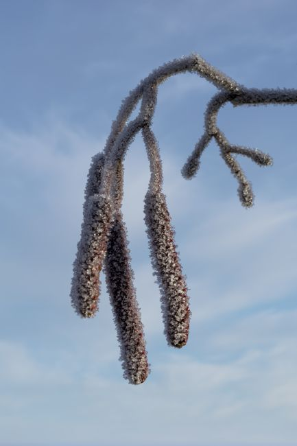 Steve Stamford | Catkins in winter