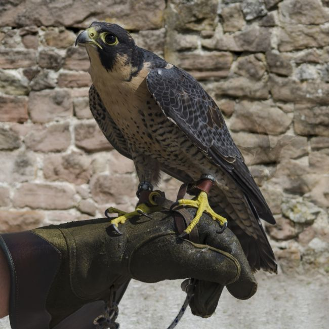 Steve Stamford | Peregrine on glove