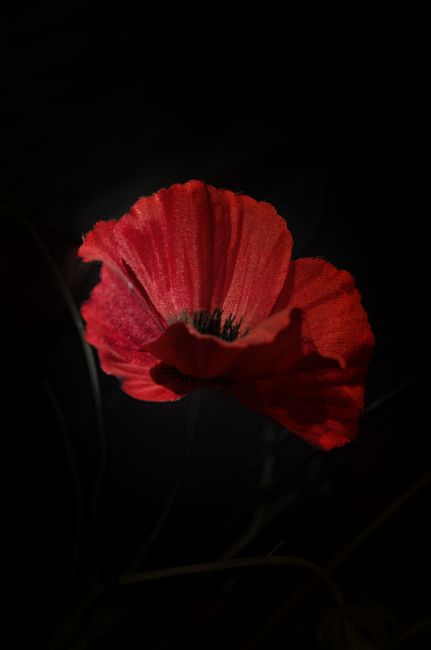 Steve Stamford | Remembrance poppy 1