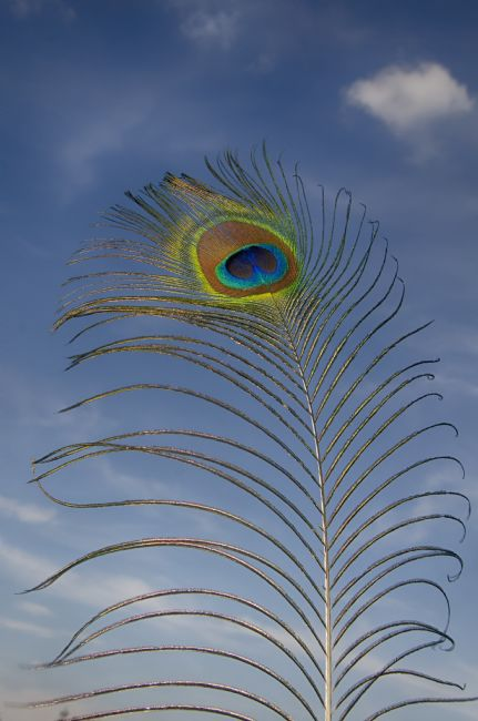 Steve Stamford | Peacock feather