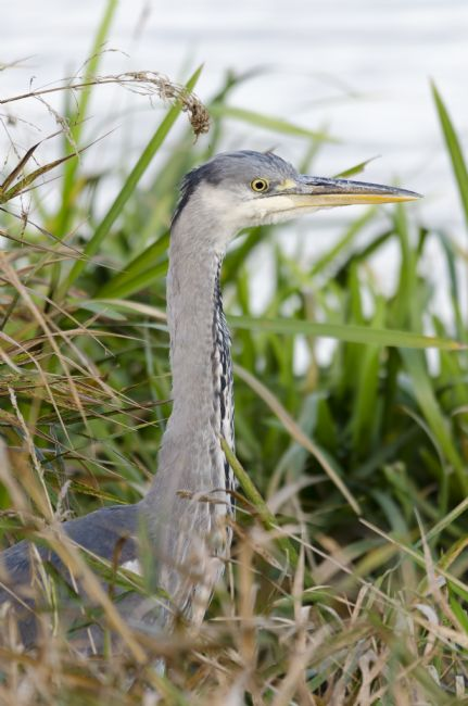 Steve Stamford | Grey heron in the reeds