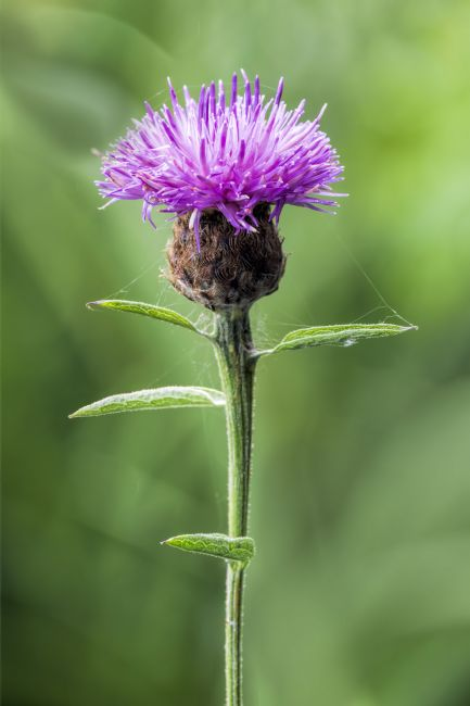 Steve Stamford | Common Knapweed 2
