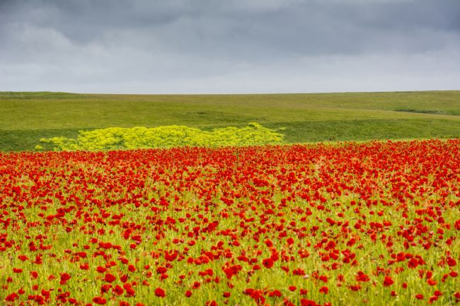 Mary Fletcher | Poppy Field in West Pentire