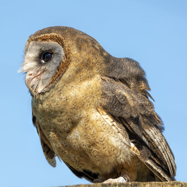 Mary Fletcher | Female Barn Owl