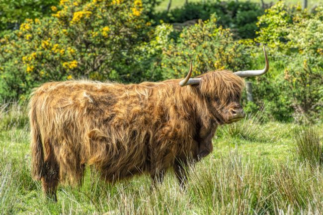 Mary Fletcher | Highland Cow