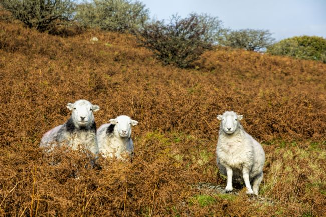 Mary Fletcher | Three Curious Sheep