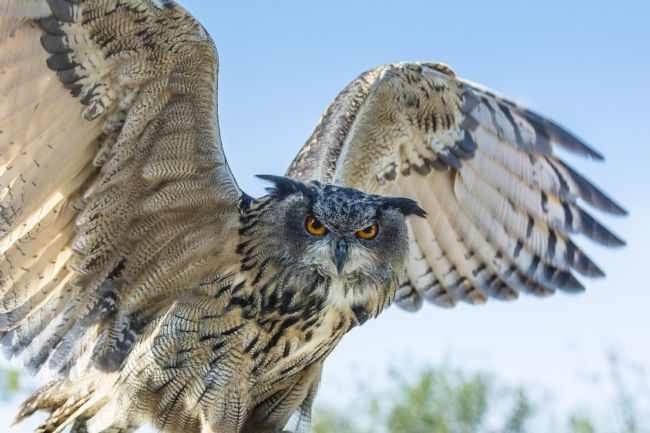 Mary Fletcher | Eagle Owl