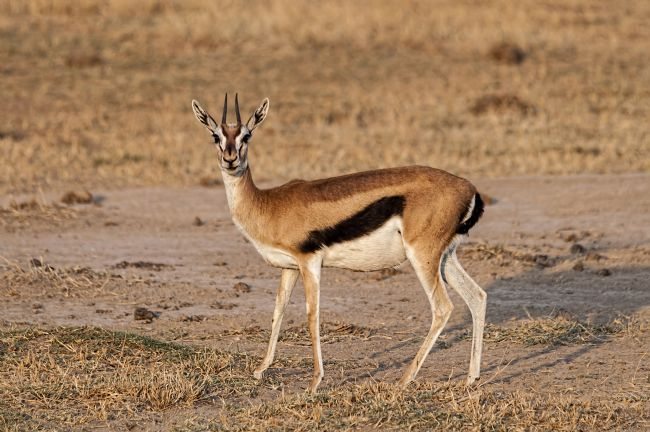 Mary Fletcher | Thomson's Gazelle