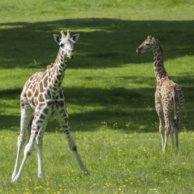 Mary Fletcher | Two Giraffes