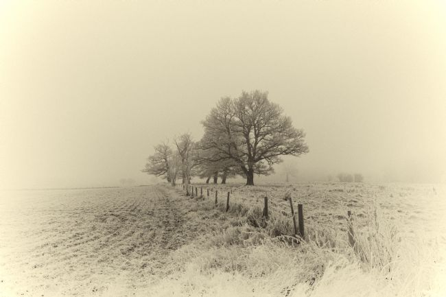 Mary Fletcher | Frosty Oak Trees