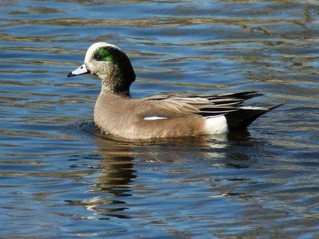 Chris Langley | American Widgeon - Mareca americana