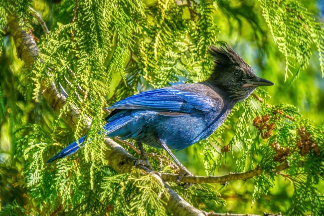 Chris Langley | Stellar's Jay in Late Afternoon - NW British Columbia