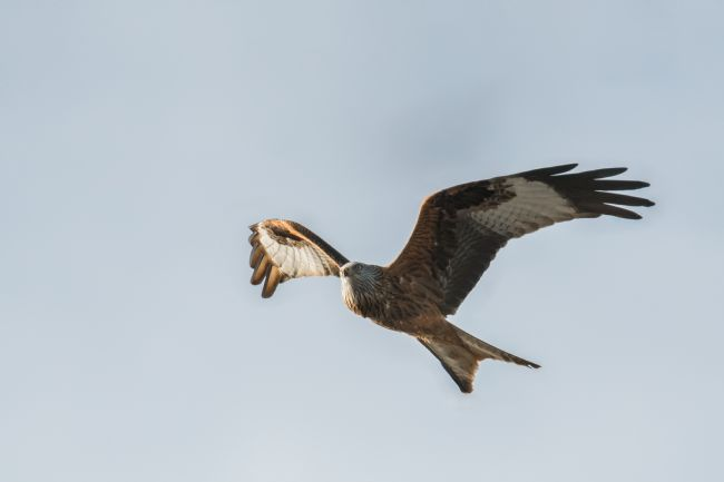 Jacovos Jacovou | Red kite scouting for food