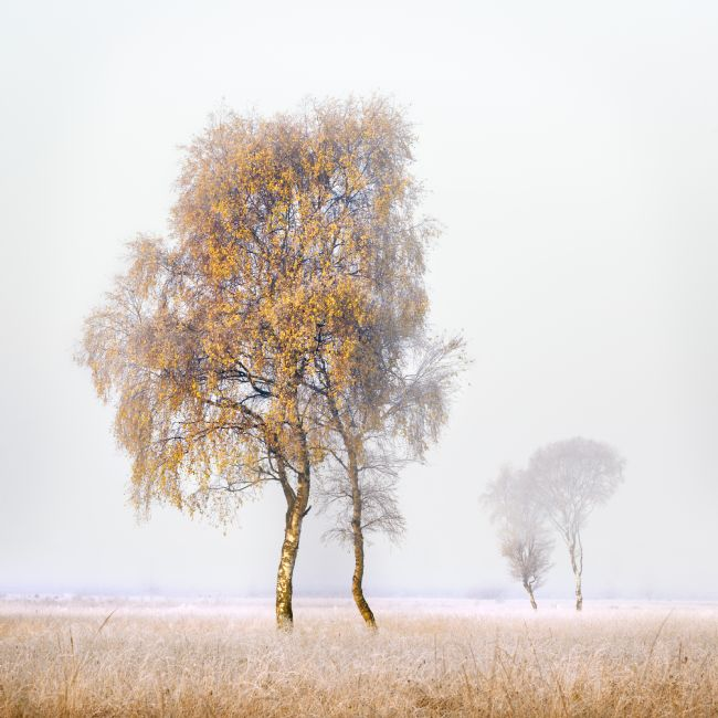 Janet Burdon | Frosted Birches
