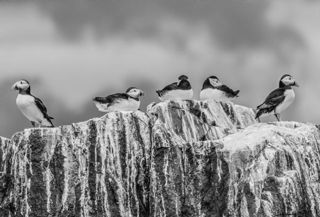 Sandra Cockayne | Puffins - Black And White