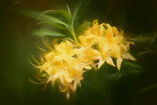 Lynn Bolt | Yellow Rhododendron