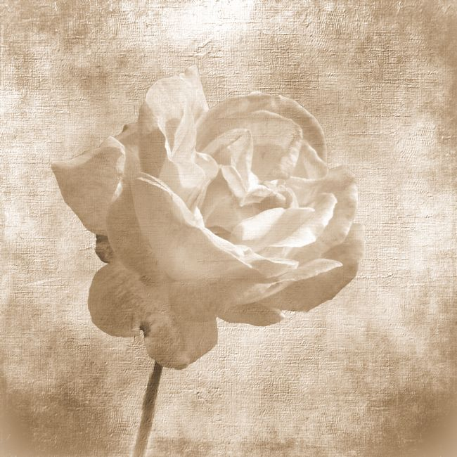 Lynn Bolt | Faded Rose