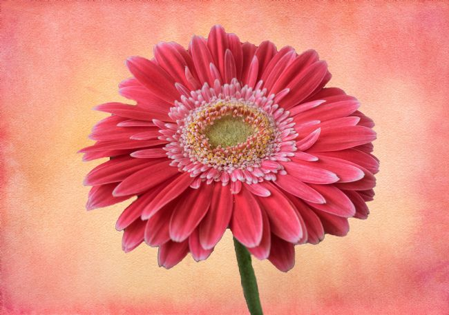 Lynn Bolt | Single Pink Gerbera