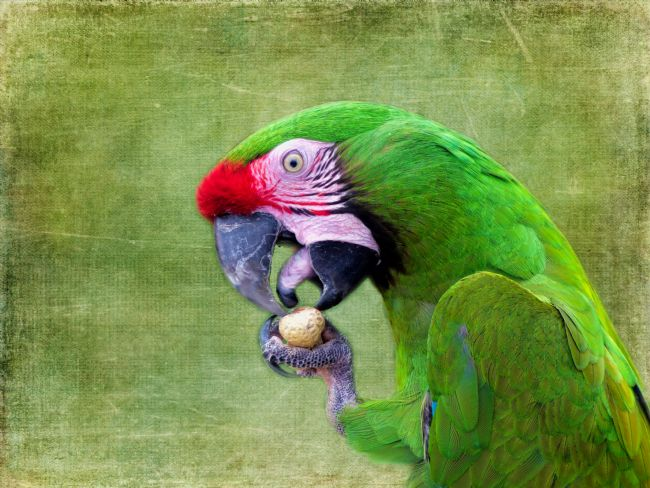 Lynn Bolt | Macaw Eating a Peanut